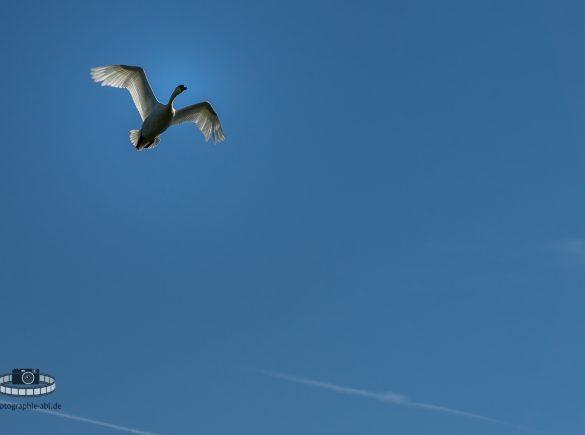 Der Flug des Höckerschwans