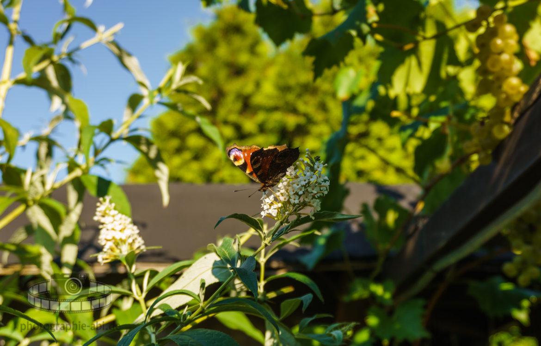 Konserve – Schmetterling im Sommerflieder