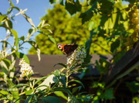 Konserve - Schmetterling im Sommerflieder