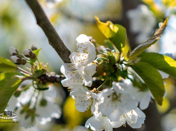 Kirschblüte mit Bokeh