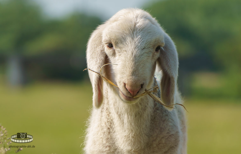 Lamm in der Muldeaue