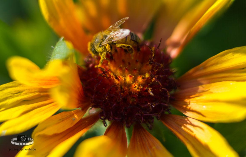 Makro – Biene in einer Korkadenblume