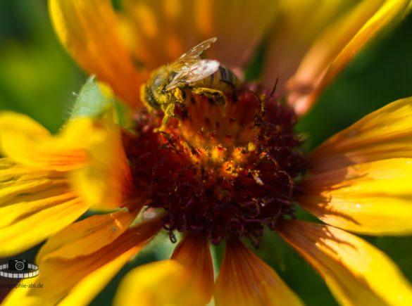 Makro - Biene in einer Korkadenblume